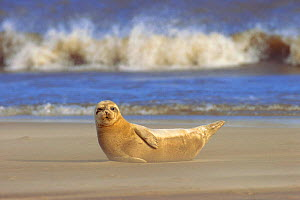Common seal on beach with surf in background {Phoca vitulina} Lincolnshire, UK  -  Paul Hobson