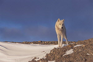 Grey wolf (white arctic form) Ellesmere Island, Canada  -  Jeff Turner