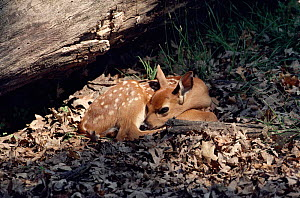 Whitetail deer fawn, Illinois, USA. - Lynn M Stone