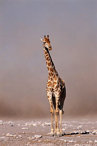 Giraffe with duststorm behind, Etosha, Namibia.  -  Tony Heald