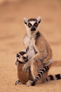 Ring tailed lemur with young.,Berenty PR, Madagascar - Pete Oxford