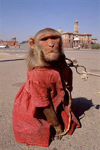 Rhesus macaque dressed up as tourist attraction, New Delhi, India - Pete Oxford