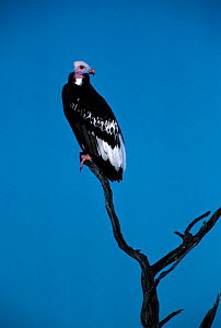White headed vulture perched {Trigonoceps occipitalis} Kenya, East Africa.  -  Mike Wilkes