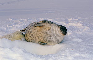 Ringed seal (Phoca hispida) with suckling pup, Svalbard, Norway  -  Mats Forsberg