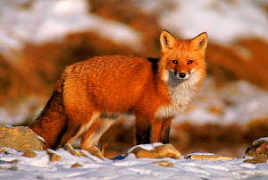 North American red fox in snow. Canada  -  Jose Schell