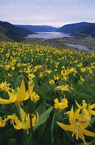Yellow fawn lilies {Erythronium grandiflorum} on hillside, with town and river in the background. Shuswap, British Columbia, Canada - Louis Gagnon