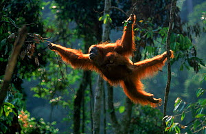 Orang utan {Pongo abelii} Suma reunited with baby moving through trees. Gunung Leuser NP Sumatra Indonesia. - Anup Shah