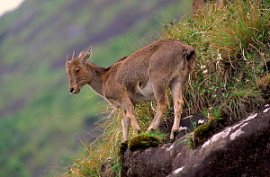 Nilgiri tahr juvenile, Eravikulum NP, South India - Lockwood & Dattatri
