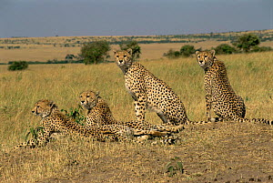 Cheetah with  one year cubs  {Acinonyx jubatus} Masai Mara NR, Kenya  -  Peter Blackwell
