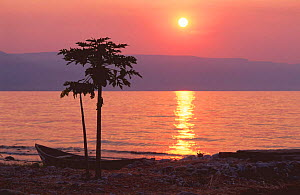 Papaya tree on the shore of Lake Tanganyika at sunset, Zambia, Southern Africa.  The world's longest and second deepest lake, part of the Great Rift Valley.  -  Georgette Douwma