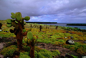 Galapagos landscape with cactus. South Paza Island  -  Tom Vezo