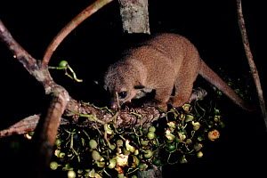 Kinkajou (Potos flavus) feeding on Bellucia fruit at night. Amazonia, Brazil, South America - Nick Gordon