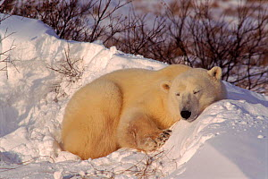 Polar bear (Ursus maritimus) in snow bed, late autumn. Churchill, Manitoba, Canada  -  Doug Allan
