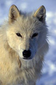 Wild Arctic grey wolf {Canis lupus} face portrait, Ellesmere Island, Canada  -  Jeff Turner
