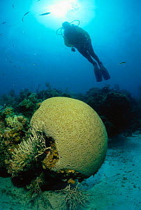Diver on coral reef near Brain coral, Caribbean  -  Jurgen Freund