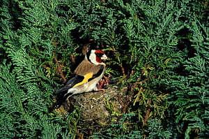 Goldfinch at nest with chicks, England UK  -  Colin Preston