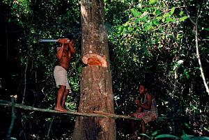 Bambuti pygmies felling forest tree. Epulu Ituri reserve, DR Congo (formerly Zaire).  -  Jabruson