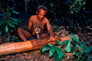 Bambuti pygmy prepares bark cloth using elephant tusk hammer. Epulu Ituri reserve, DR Congo (formerly Zaire)  -  Jabruson