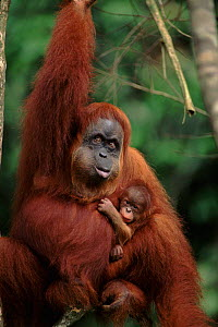 Orang utan mother with baby, (Pongo abelii) female chewing Gunung Leuser NP, Indonesia  -  Anup Shah