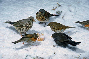 Five thrush species feeding at fallen fruit in snow, England UK. Clockwise from top: Fieldfare {Turdus pilaris} Song thrush {T. philomelos) Blackbird {T. merula} Redwing {T. iliacus} Mistle thrush {Tu...  -  Mike Wilkes