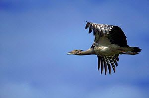Kori bustard flying, Serengeti, Kenya - Mike Wilkes