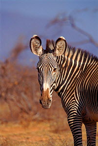 Head of Grevy's zebra (Equus grevyi). Samburu NR, Kenya, East Africa  -  Peter Blackwell