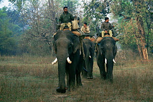 Park Rangers / Mahouts riding domesticated Indian elephants (Elephas maximus) into the forest in search of Indian tigers, Bandhavagarh NP, Madhya Pradesh, India  -  Francois Savigny