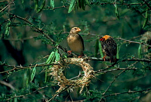 Red billed quelea pair at nest in construction, Tsavo East NP, Kenya.  -  Jabruson