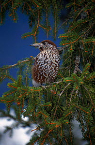 Nutcracker in conifer tree,  Switzerland.  -  Christoph Becker