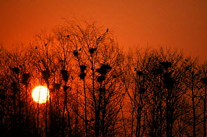 Rookery at sunset. Poland.  -  Artur Tabor