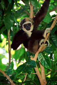White-handed gibbon juvenile in tree, Singapore Zoo  -  Anup Shah