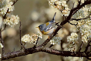 Northern parula warbler perched. {Parula americana} Long Is, NY, USA.  -  Tom Vezo