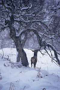 Red deer stag eating bark from tree in snow storm {Cervus elaphus} Glen Cannich Scotland, UK - Brian Lightfoot