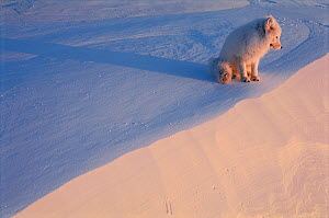 Arctic fox on snow (Vulpes lagopus). Ellesmere, Northern Territory, Canada. (This image may be licensed either as rights managed or royalty free.) - Staffan Widstrand