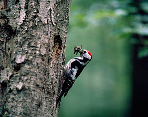 Middle spotted woodpecker {Dendrocopos medius} bringing food to chicks in nest hole, Brandenburg, Germany  -  Bengt Lundberg