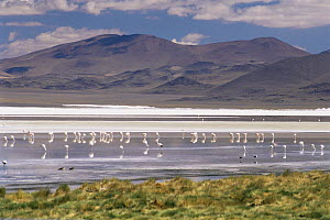 James (Phoenicoparrus jamesi) and Andean flamingoes (Phoenicoparrus andinus) on Lago Colorado at 4200m in Andes, Bolivia - Doug Allan