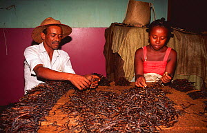 Sorting vanilla beans for sale, Maroantsetra, North East Madagascar  -  Pete Oxford