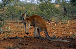 Red kangaroo {Macropus rufus} Australia.  -  Colin Preston