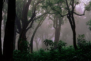 Temperate rainforest of Mount Kilum, Cameroon, West Africa  -  Nigel Bean
