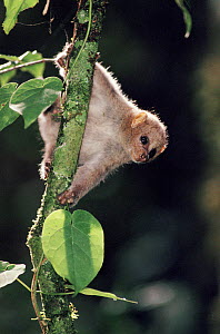 Potto on tree, Epulu, Ituri Rainforest Reserve Dem. Rep. of Congo (formerly Zaire)  -  Jabruson
