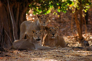 Asiatic lioness and sub-adult group [Panthera leo persica} Gir Forest, India.  -  Ashok Jain