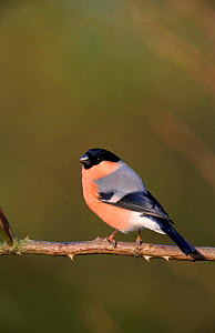 Bullfinch male perched, Yorkshire, UK.  -  Paul Hobson