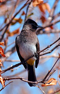 Common bulbul perched, Kruger NP, South Africa.  -  Tony Heald