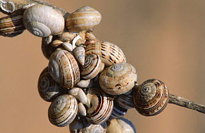 Large group of White lipped snails (Cepaea hortensis) congregated on a twig, estivating, Alicante, Spain.  -  Jose B. Ruiz