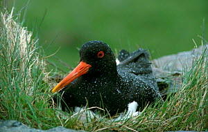 Oystercatcher at nest, Islay, Scotland {Haematopus ostralegus}  -  Mike Wilkes