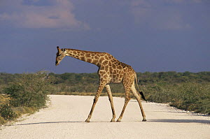 Giraffe crossing the road, Etosha NP, Namibia {Giraffa camelopardalis}  -  Christoph Becker