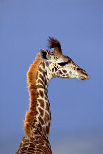 Juvenile giraffe head and neck portrait {Giraffa camelopardalis} Masai Mara, Kenya  -  Peter Blackwell