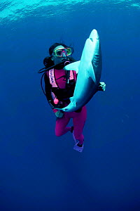 Diver turns Silky shark on back causing tonic immobility. {Carcharhinus falciformis} Model released. - Jeff Rotman