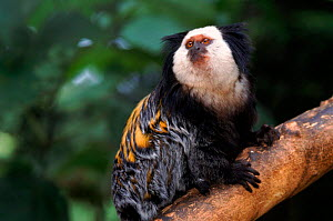 Geoffroy's marmoset on branch  -  Tony Heald