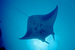 Pacific manta ray {Manta alfredi} Yap, Micronesia  -  Michael Pitts